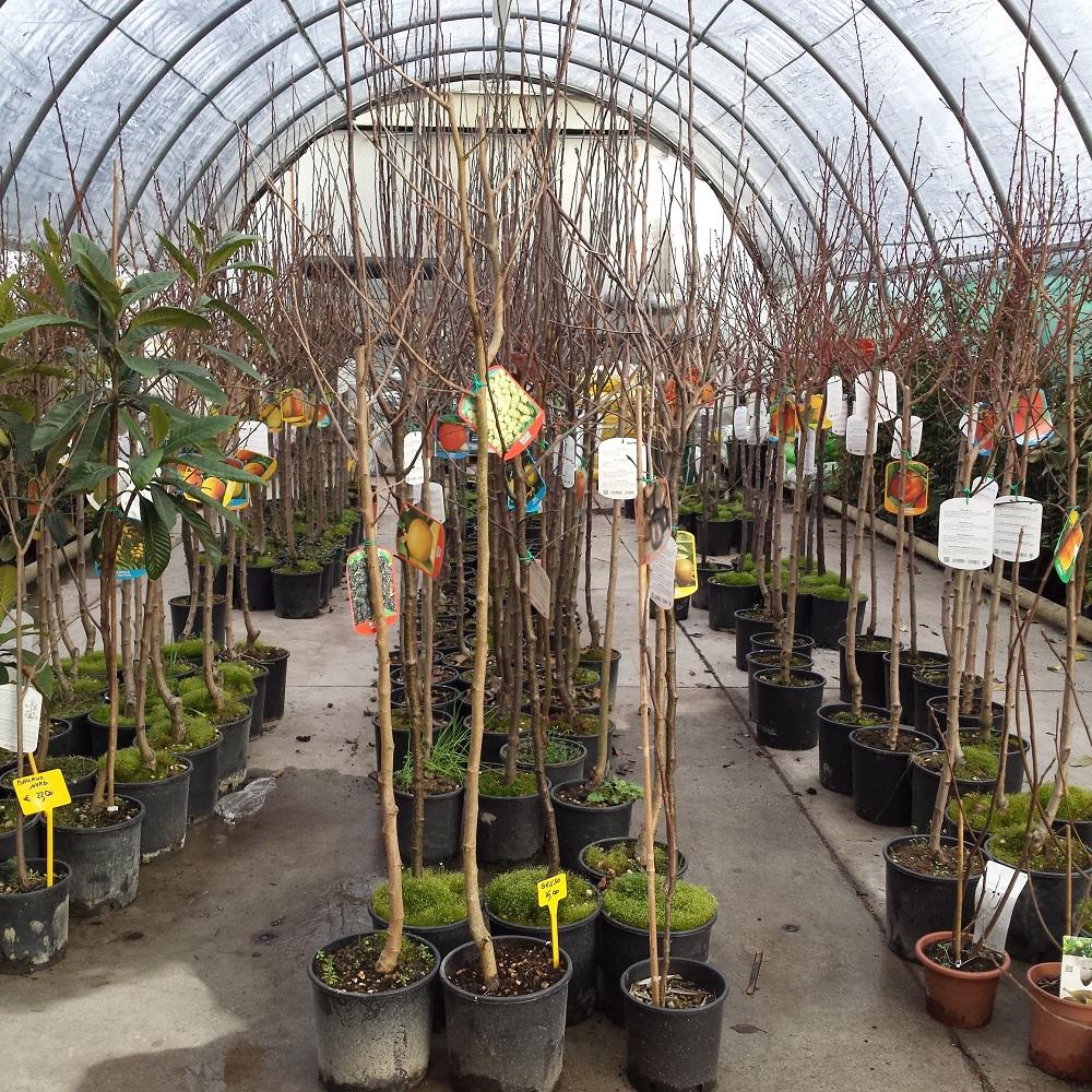 Assortimento di piante da frutto miste agriverde for Comprare piante da frutto online