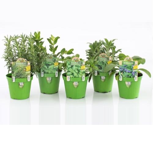 Piante aromatiche ed officinali assortite agriverde for Erbe aromatiche in vaso