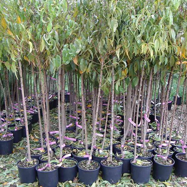 Agriverde pasiano pn assortimento di piante da for Comprare piante da frutto online
