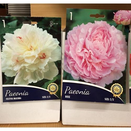peonia-bianca-e-rosa