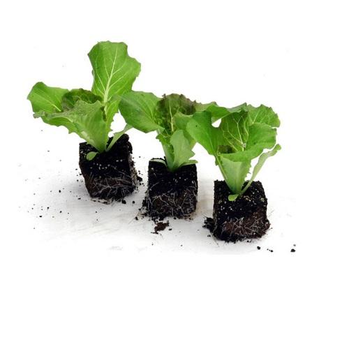 Assortimento lattughe in cubetto agriverde pasiano pn for Piantine orto prezzi