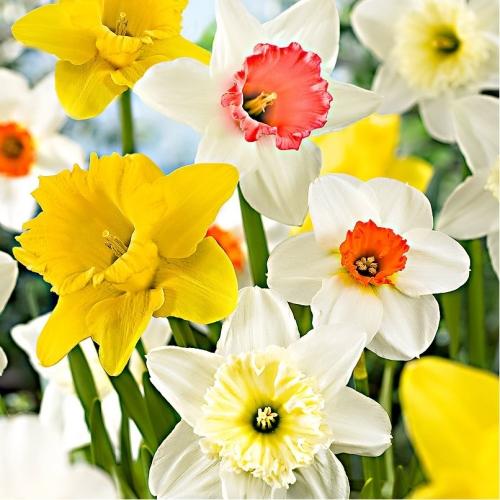Sementi orto e fiori agriverde pasiano pn for Bulbi narcisi