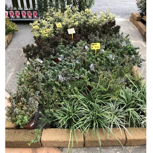 piante-da-aiuola-2